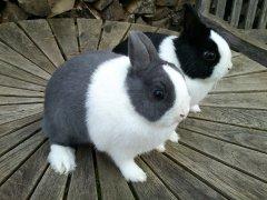 Hermelin kanin til salg fyn