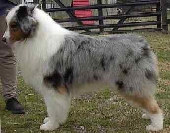 mellem korthåret hund